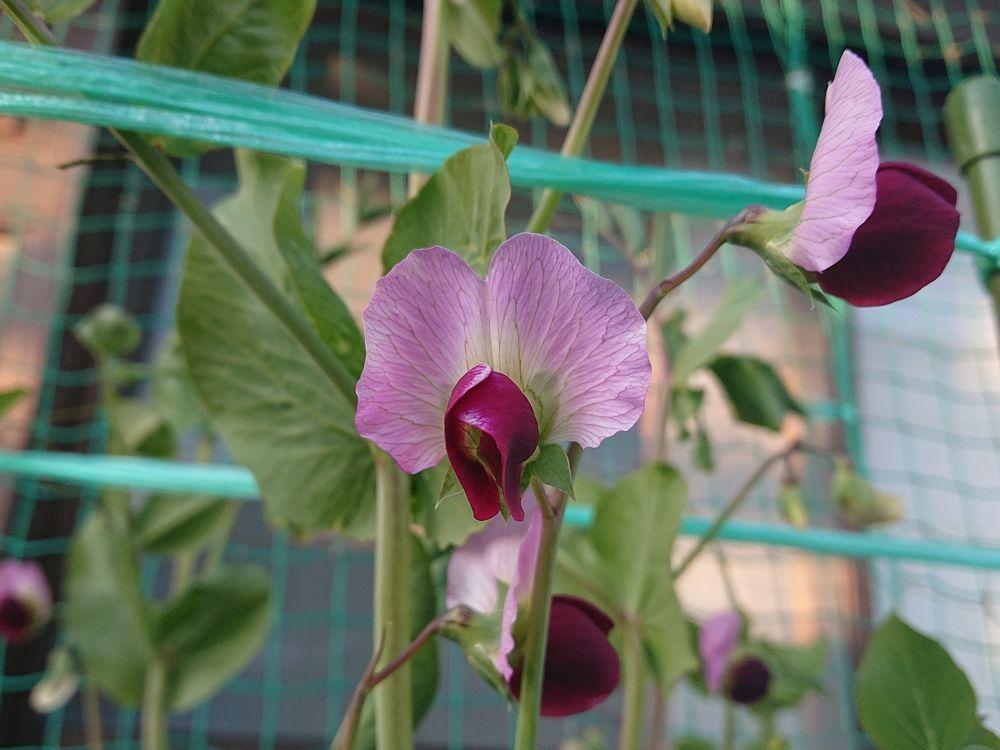 マエフジ不動産横の自宅にサヤエンドウの花が咲きました