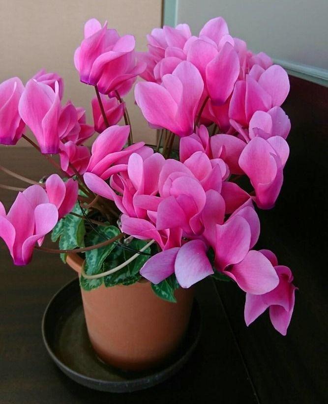 2年目のシクラメンにピンク色の花が咲きました
