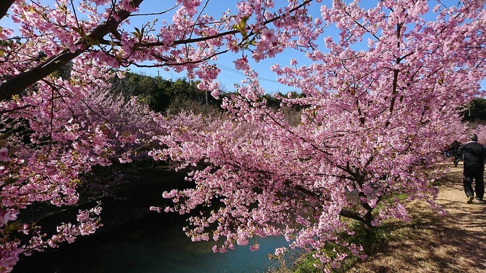 花川沿いで開催される東大山河津桜祭り今が見頃です