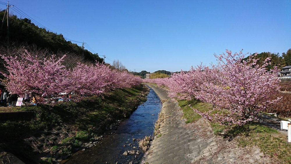 浜松市西区大山町、花川沿いで開催される2020東大山河津桜祭り